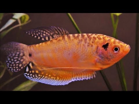 Gold Opaline Gourami | Male | Female | Breeding Pair