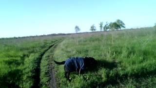 Как прошли роды моей собаки, лабрадора. Видео для собачников