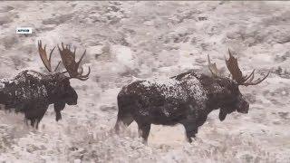 На захист лосів: зоозахисники проти мисливців