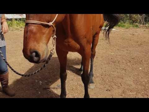 Sir Lancelot: Vahana Equestrian Centre