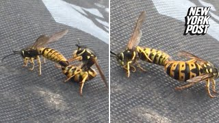 Two guys have too much fun watching hornets have sex