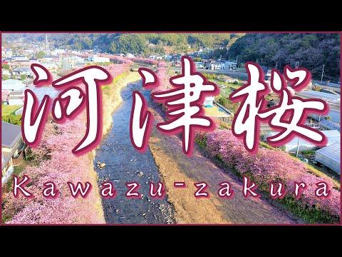 河津桜まつり | 4K