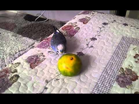 Mavişin türkü çığırması 2