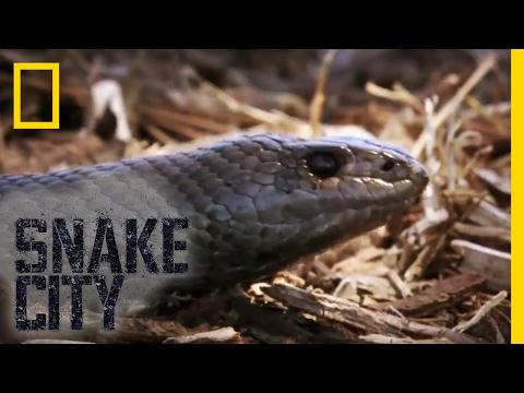 That's a Big Mole Snake | Snake City