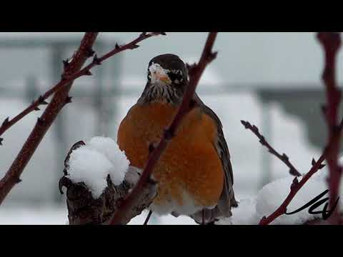 Birds, Birds and more Birds at the Feeder in Winter  -18c this morning in Kelowna -