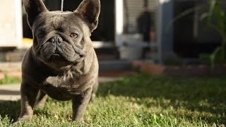THE RE UP - LOS ANGELE'S #1 EXTREME FRENCH BULL DOG KENNEL