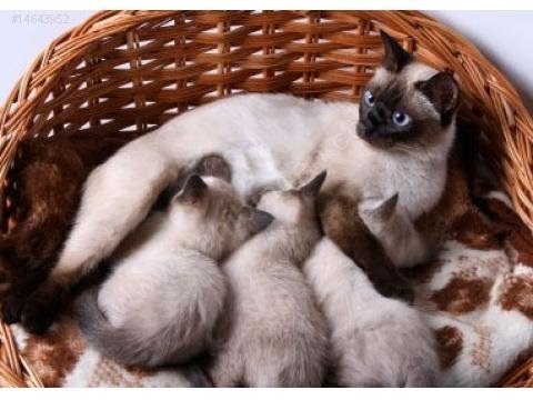 Siamese Cat Funny Compilation Videos 2 ♥