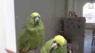 Пара пьяных попугаев после вечеринки