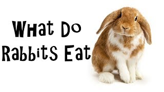 What do Rabbits eat - Diet information