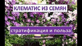 клематис из семян. часть 1. стратификация и польза.