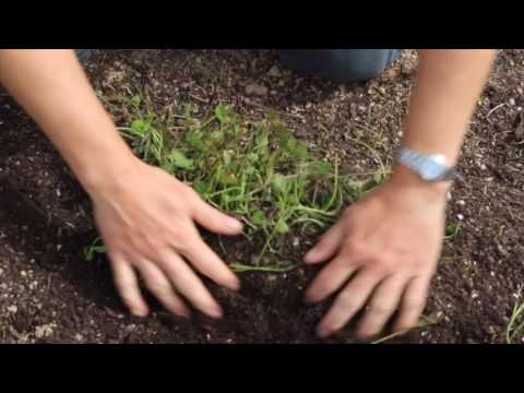 Clover and Nitrogen Fixation