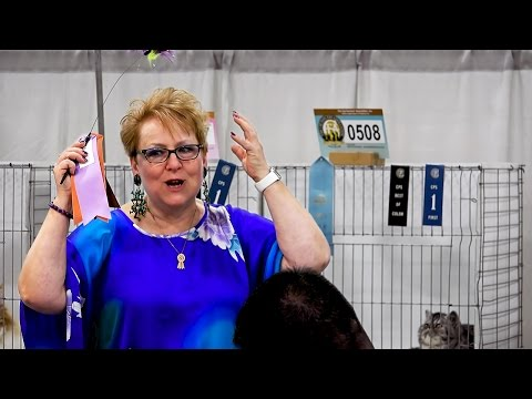 CFA International 2016 - Rachel Anger's Exotic kitten Best of Breed