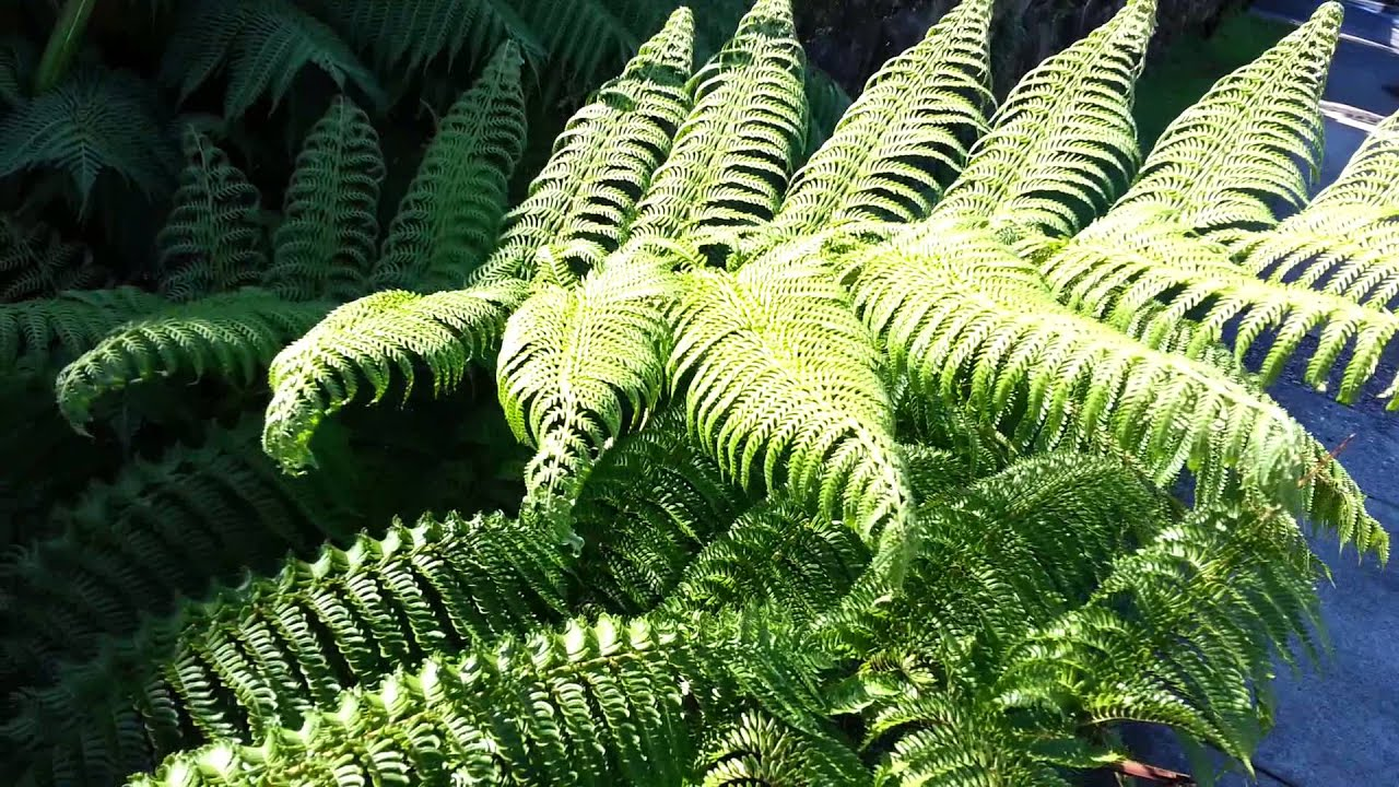 Despre ferigă - Arbuști Paraziți de rădăcină de ferigă masculină