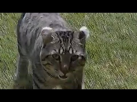 Goliath the Giant Cat - Watches Himself on YOUTUBE So Cute
