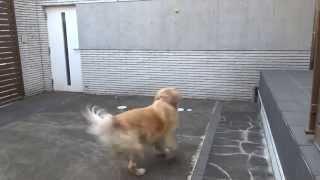 リボンちゃんは生まれ変わり犬です。前世をフェルルと言います。今世で...