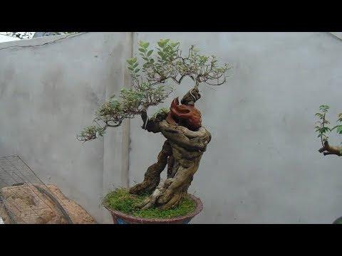 bonsai art , bonsai pemphis acidula ,  Cây từ bi
