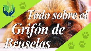 Grifón de Bruselas, ¿increíble perro?