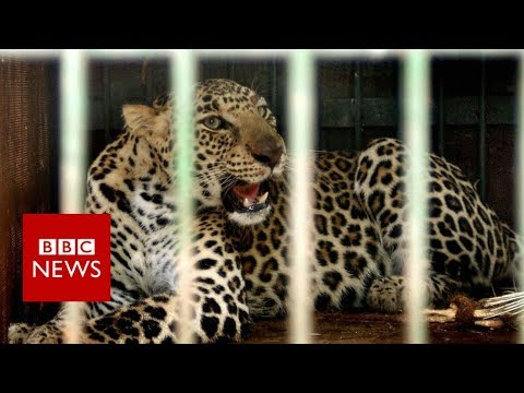 Leopards v farmers in India's sugarcane fields - BBC News