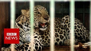 Leopards v farmers in India's sugarcane fields - BBC News thumbnail