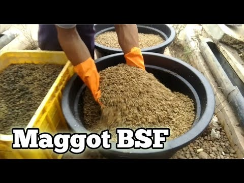 The Cycle Of Black Soldier Fly (BSF) Cultivation