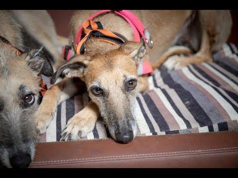 Kali & Mabel - Whippets - 4 Weeks Residential Dog Training