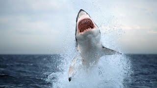 Great white Shark Attack Dominican Republic