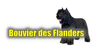 Bouvier des Flandres (Herding Group) 2021  Detox Your Dog