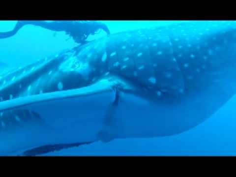 Whale Shark Rescue