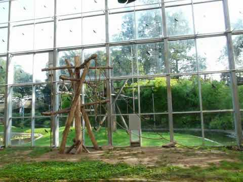 White-cheeked gibbon in indoor enclosure