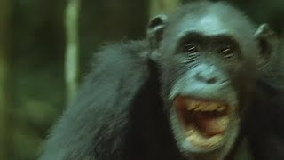 chimps-hunt-and-eat-a-monkey-trials-of-life-bbc-earth