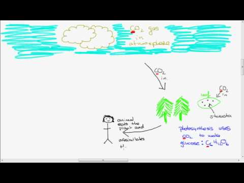 Leaving Cert Biology: The Carbon Cycle