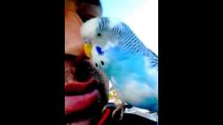 Muhabbet kuşu Maviş