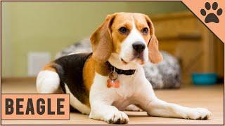 Beagle  Dog Breed Information