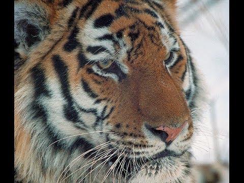 Amur tiger in third millennium. English edition