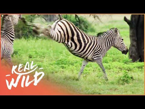 Caught In Act [Wild Animal Documentary] | Wild Things