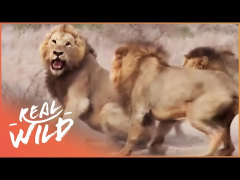 Wild Animal Fights Caught On Camera (Wildlife Documentary) | Caught In The Act | Real Wild