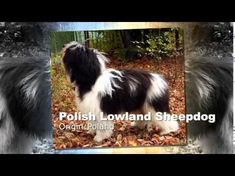 Polish Lowland Sheepdog Dog Breed