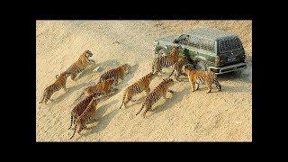 Attaques d'animaux sauvages contre des hommes en voiture ou à moto
