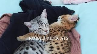 Baby serval sleeping with his best friend Savannah cat. Спящий малыш сервал