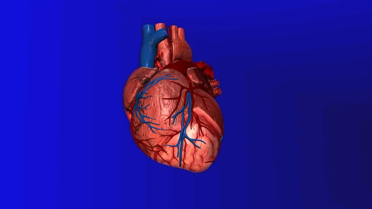 Biology heart functions blood circulation in heart simple biology heart functions blood circulation in heart simple explanation hindi ccuart Gallery