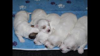 Coton de Tulear Puppies For Sale - Ireland 5/3/21