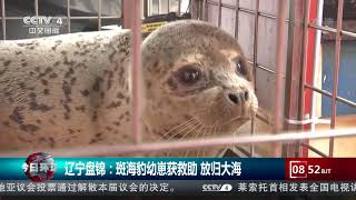 [今日环球]辽宁盘锦:斑海豹幼崽获救助 放归大海| CCTV中文国际