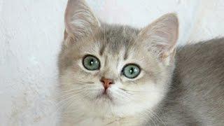Продажа-Британские котята-девочки, окрас-голубой золотой тиккированный