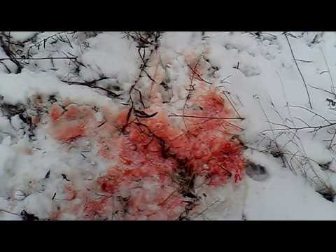 Волчары  съели собаку
