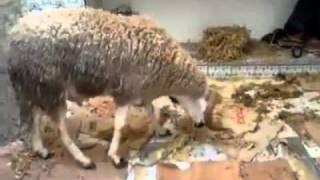 خروف كبش العيد ينتحر خوافا من الذبح