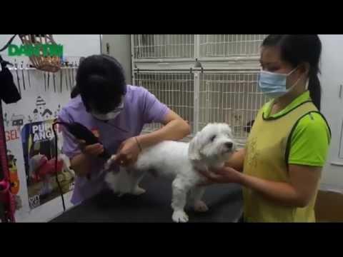 [Dantri.com.vn] Đưa chó mèo đi spa, cắt tỉa lông chuyên nghiệp tại Hà Nội