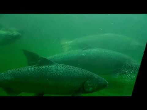 The Ballard Locks Salmon Ladder