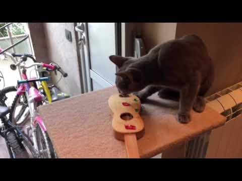 Russian Blue Cat Stella Playing Guitar