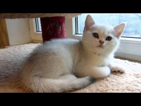 Американская короткошерстная кошка описание фото