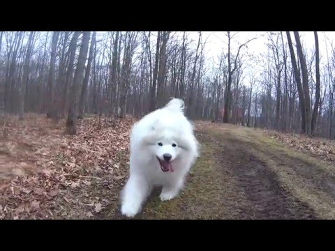 Walking in the forest with Madison the Samoyed dog